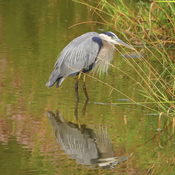 Heron and its Reflection