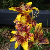 Beautiful lilies!