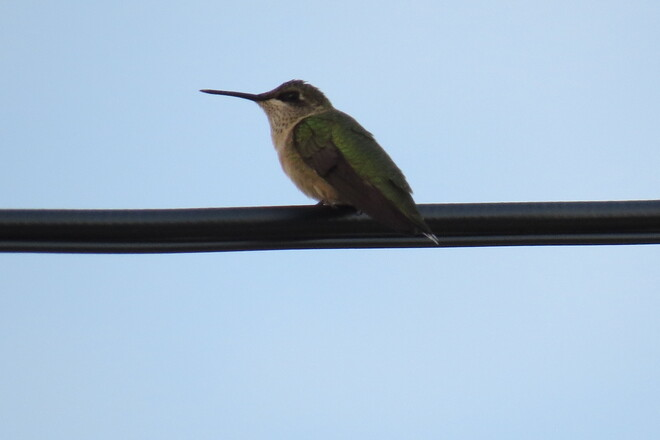 Hummer on a wire! Bridgewater, NS