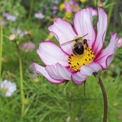 bee loving g cosmos