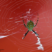 Common Yellow Garden Spider