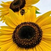 Sunflowers and bumblebee