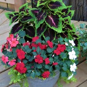 Healthy Coleus and Impatience