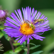 Striped Sweat Bees on Blue Aster