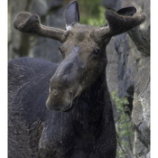 Moose from Algonquin Park
