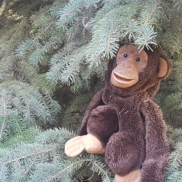 Boreal Spruce Monkey on the loose in Edmonton