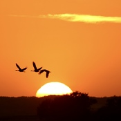 Sandhill cranes heading to the river...