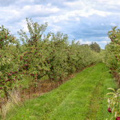 Apple season near Wolfville NS