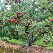 Fresh Valley apples NS