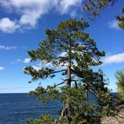 L Superior Shoreline Trees