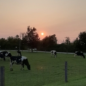 Cow's enjoying the sunset
