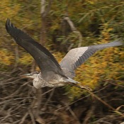 Blue Heron Inflight