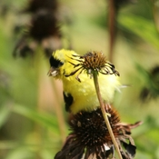 Fluffy goldfinch