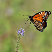 Monarch in flight
