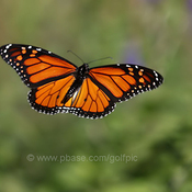 Monarch in the air