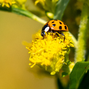 Eighteen-spotted Ladybird