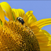 Sunflower and bee, Elliot Lake.