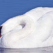 Mute Swan relaxes