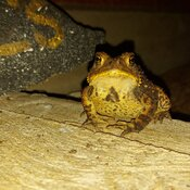 Evening Toad