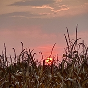 Sunset and corn fields
