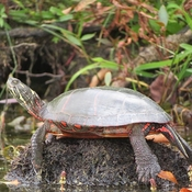 Smiling Painted Turtle