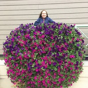 Big Petunias in Banff