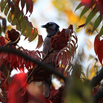 Blue Jay Shaded By The Red
