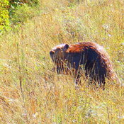 Bear no big Beaver