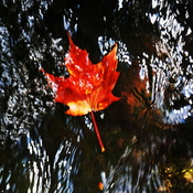 fall leaf in water