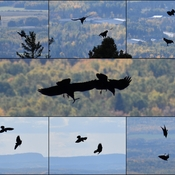 Ravens Playing Atop Mt. McKay