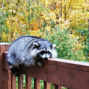 Raccoon resting on a deck railing