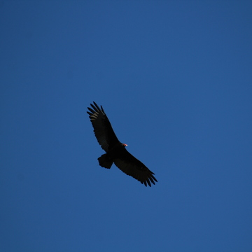 Vulture - Flying High