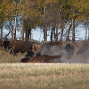 Bison playing , kicking up some dust .