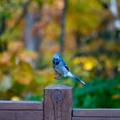 Bluejay above post
