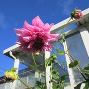 This dahlia survives after last night strong wind