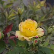 The Yellow Rose of Toronto