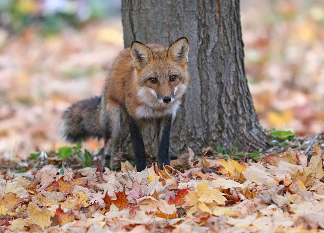 Sunday Fox Ottawa, ON