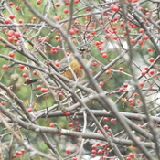 ROBIN EATING CRAB APPLES