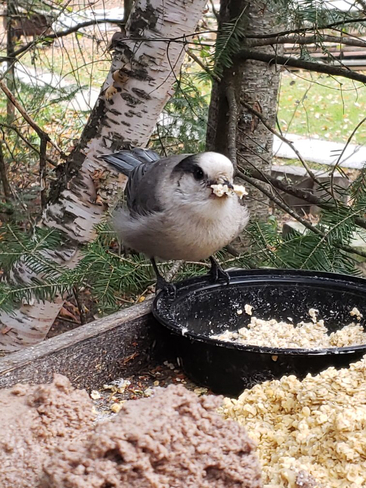 Gray Jay stocking up for winter Winnitoba, Manitoba, CA