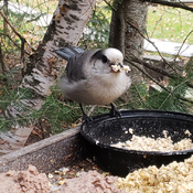 Gray Jay stocking up for winter