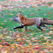 Foxes use earth's magnetic field to hunt
