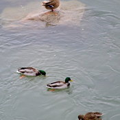 Mallards searching for food in the river