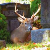 Deer at Woodland Cemetery