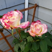 pink and white rose still blooming