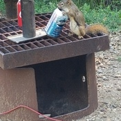 Squirrel with a Thirst
