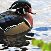 Wood Duck in Mud Lake