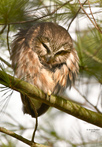 Saw Whet Owl Scarborough, Toronto, ON