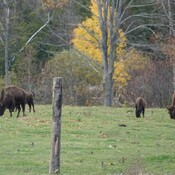 The Bison Ranch on Shirley Rd.,have some Bison in the pasture again!