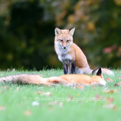Two foxes dominance behaviour