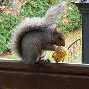 mr. squirrel teetering & snacking